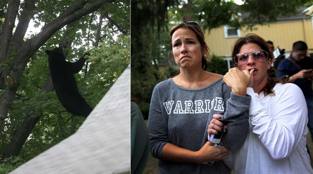 Leslie Culbertson and Lisa Pattman, who had never met each other before Tuesday, grabbed each other's arm as they saw a bear fall out of a tree, on September 30, 2014.  Both were concerned for the bear's well being after they heard a thump sound after it fell.  The male black bear weighing approximately 400 pounds was shot down with a tranquilizer gun in Ridgewood, NJ. The bear, which was approximately 50 feet up the tree at the time had run up at least two other trees in the area. (Photo by Kevin R. Wexler/The Record of Bergen County)
