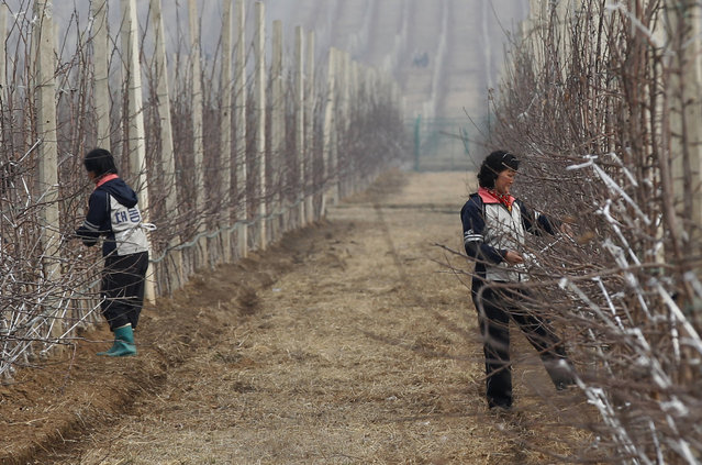 Workers prepare the plot at Daedonggang Fruit Farm, with 309 acres of apple trees, on the outskirts of Pyongyang, April 10, 2012. (Photo by Bobby Yip/Reuters)