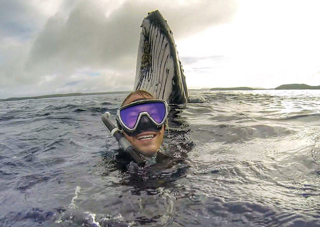 Will Rosner and a playful humpback whale pose for a selfie. This man is certainly knows how to enjoy life travelling the South Pacific and posing for selfies with a whale. Australian carpenter Will Rosner, 24, from Sydney, Australia, has been travelling the world for the past 18 months but nothing could have prepared him for this incredible postcard moment. Swimming in the pristine waters of the Tonga in the Pacific Ocean Will was lucky enough to have the chance to swim with an entire pod of humpback whales. (Photo by WIll Rosner/Caters News)