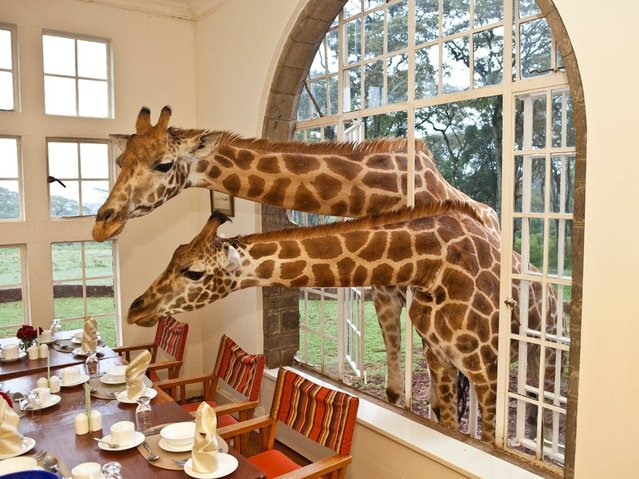 The World S Only Giraffe Hotel In Kenya