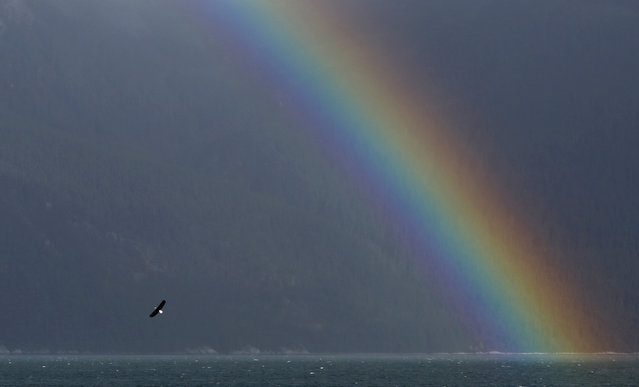 A bald eagle flies near a rainbow over Chilkoot Inlet near Haines, in southeastern Alaska, October 6, 2014. (Photo by Bob Strong/Reuters)