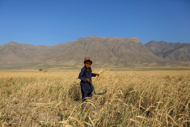An Afghan boy looks on as he harvests wheat on the outskirts of Kabul, Afghanistan July 11, 2016. (Photo by Mohammad Ismail/Reuters)