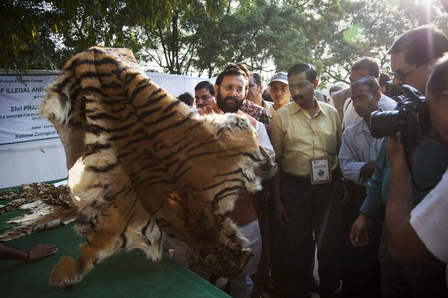 Indian Environment Minister Prakash Javadekar displays a tiger skin before authorities set fire to a stockpile of illegal wildlife parts at the Delhi Zoo in New Delhi, India, Sunday, November 2, 2014. (Photo by Tsering Topgyal/AP Photo)