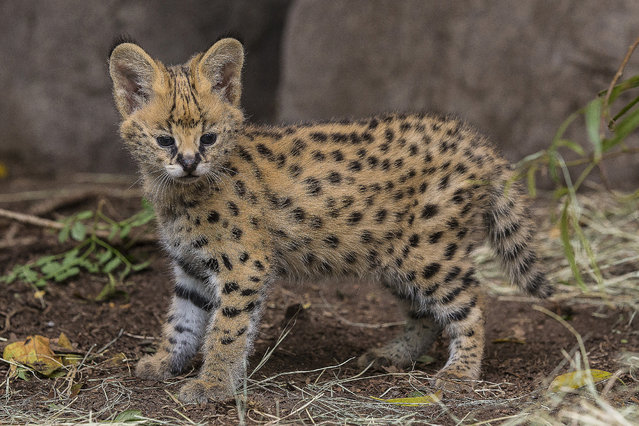 A five-week-old African serval kitten examines his surrounds after animal care staff performed a weight check on the cat Thursday, November 13, 2014,  at the San Diego Zoo. The small kitten, weighing in today at three pounds, was born to first time mother, Onshe, at the Zoo's Kopje area on October 7. (Photo by Ken Bohn/AP Photo/San Diego Zoo)