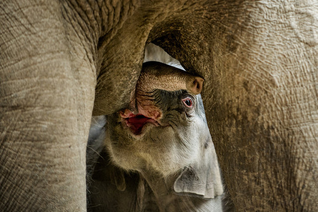 A newborn elephant drinks milk of its mother in the Zoo of Copenhagen February 25, 2013. The unnamed elephant was born early this morning. (Photo by Torkil Adsersen)