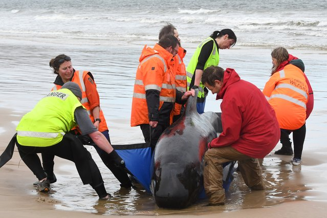 """This handout photo taken and received from Brodie Weeding from The Advocate on September 22, 2020 shows rescuers working to save a pod of whales stranded on a beach in Macquarie Harbour on the rugged west coast of Tasmania. Rescuers faced a race against time to save nearly 200 whales stuck in the remote Australian harbour on September 22, hoping to prevent the toll of 90 dead from rising further after managing to free """"a small number"""" of the stranded mammals. (Photo by Brodie Weeding/The Advocate/AFP Photo)"""