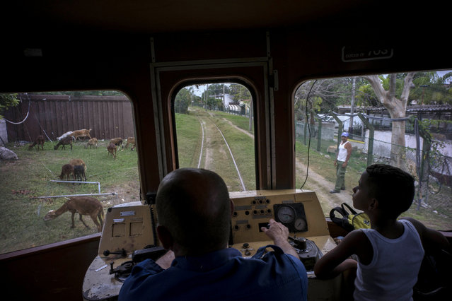 In this August 26, 2015 photo, a boy rides next to the engineer of an electric Hershey train in the Casablanca municipality of Havana, Cuba. The conductor slowed the train down to avoid hitting a shepherd's flock of goats grazing along the tracks. (Photo by Ramon Espinosa/AP Photo)
