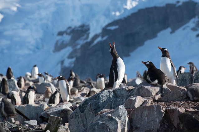 Gentoo penguin colony on Cuverville Island in Errera channel, Antarctic Peninsula. (Photo by Daniel Beltrá/Greenpeace)