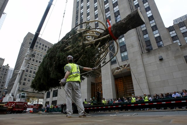 A worker prepares a 78-foot-tall Norway Spruce to be hoisted into position as the 2015 Rockefeller Center Christmas Tree in New York November 6, 2015. The Norway Spruce donated by Albert Asendorf and Nancy Puchalski from Gardiner, New York, measures 78-feet tall and 47-feet in diameter and is approximately 80-years old and weighs close to 10 tons. (Photo by Shannon Stapleton/Reuters)