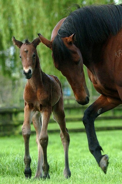 A mare keeps an eye on her first foal, a filly, at Cambridge Stud, Cambridge, New Zeland. (Photo by Ross Land/FotoPress)