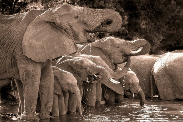 "At Singita lebombo in the Kruger National Park, a herd of elephants, led by the matriarch, slake their thirst at a watering hole. The photographer comments, ""What I love about this image is that it shows the multi-generational and family driven makeup of an elephant herd. The extremely close bond keeps these families and future generations together for hundreds of years, something that we as humans can appreciate"". (Photo by Chris Renshaw)"