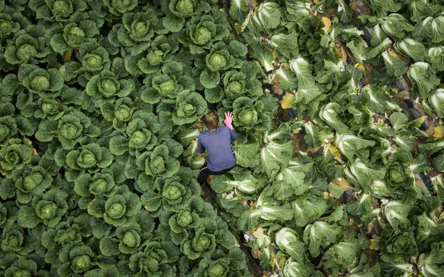 In a photo taken on November 18, 2020 a worker picks cabbages during a harvest at a cabbage farm near Mokpo. (Photo by Ed Jones/AFP Photo)