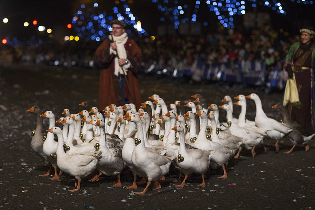 Geese with Christmas decorations are paraded through the streets in Madrid, Monday, January 5, 2015. The traditional parade marks the eve of the Epiphany, a Christian holiday celebrating the story of the three wise men believed to have followed a bright star to offer gifts of gold, frankincense and myrrh to the newborn Jesus in Bethlehem. (Photo by Andres Kudacki/AP Photo)