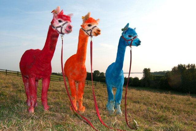 Three very colouful alpacas enjoy the hot weather at Toft Farm, Rugby, on July 19, 2013. (Photo by Caters News)