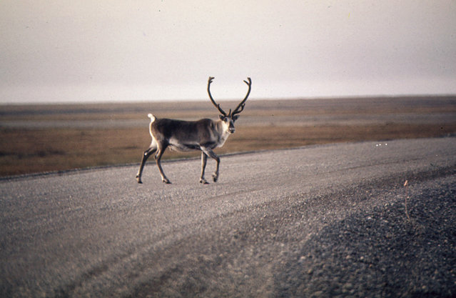 Photographer Dennis Cowals traveled to Alaska to document the landscape as construction on the Trans-Alaska Pipeline had just begun. Here, a caribou crosses a gravel roadway near Mile 0, northern Alaska, August 1973. (Photo by Dennis Cowals/NARA via The Atlantic)