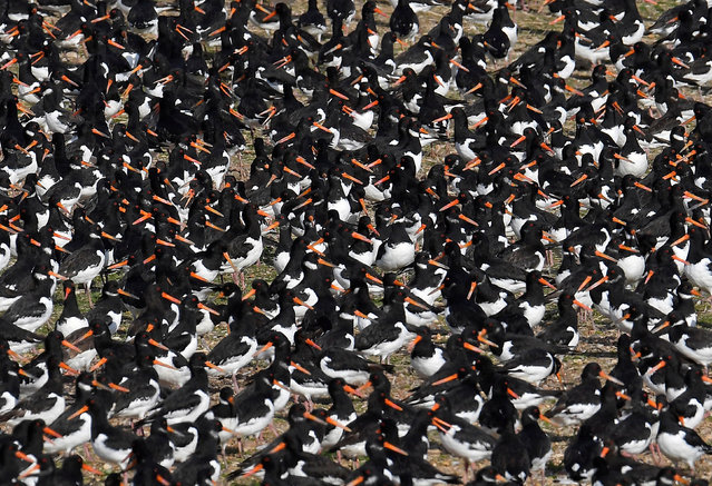 Thousands of wading birds including Oystercatchers fly onto dry sandbanks during the month's highest tides at The Wash estuary, near Snettisham in Norfolk, Britain, September 13, 2018. (Photo by Toby Melville/Reuters)