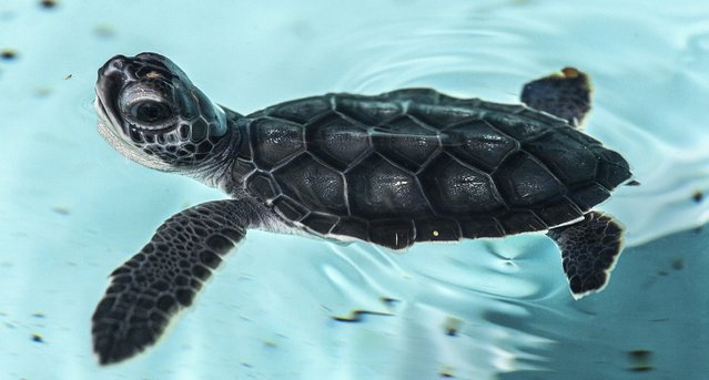 A green turtle hatchlings swims in a tank at the Loggerhead Marinelife Center in Juno Beach after being rescued on the beach. It will be taken by boat to the Gulf Stream and released. (Photo by Greg Lovett/The Palm Beach Post)