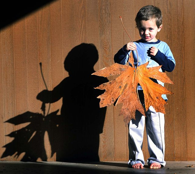 Tommy Lindsey holds an enormous maple leaf that he found in Mount Vernon, Wash., October 28, 2013. Lindsey was walking with his family when he picked up the leaf that is more than two feet from stem to tip and more than 21 inches wide. (Photo by Frank Varga/The Skagit Valley Herald)