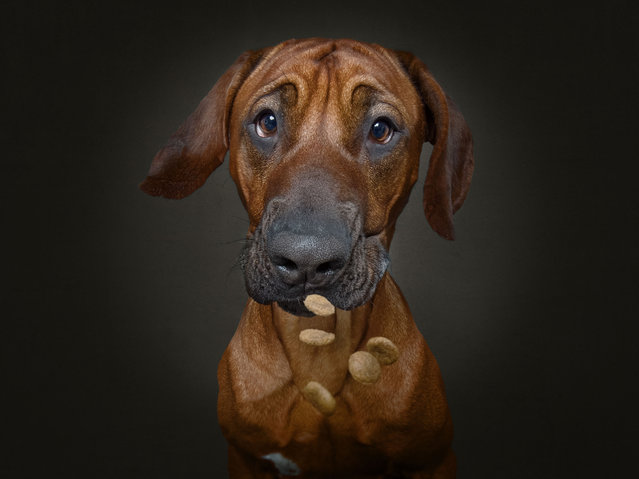 Hudson the Rhodesian Ridgeback. (Photo by Christian Vieler/Caters News Agency)