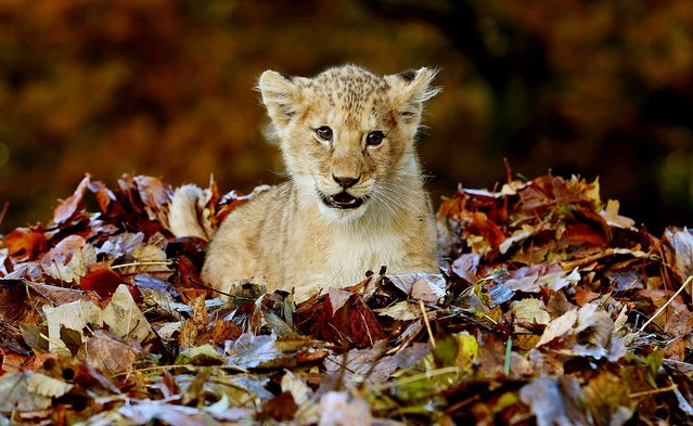 Karis, an eleven week old lion cub, rests in fallen leaves brushed up by keepers in her enclosure at Blair Drummond Safari Park, near Stirling, Scotland, on November 20, 2013. (Photo by Andrew Milligan/PA Wire)