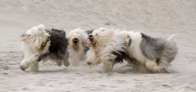 Sophie and Sarah run around with other English sheepdog friends. (Photo by Cees Bol/Caters News Agency/Mercury Press)