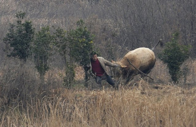 A cow, which escaped from a truck, attacks a farmer trying to catch it in Liangdun village of Nangang township, Anhui province December 15, 2013. (Photo by Reuters/China Daily)