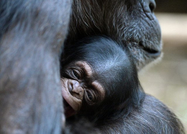 Female chimpanzee Vanessa carries her young one, born on 6 January 2014, in the chimpanzee house of the zoo in Osnbrueck, Germany, 21 January 2014. It is the fifth offspring of the 31 year old chimpanzee Vanessa and it is presumably a boy. (Photo by Carmen Jaspersen/EPA)