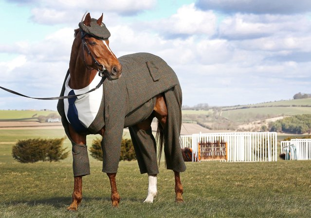 Veteran racehorse Morestead models the world's first authentic Harris Tweed suit designed for a racing horse, which has been specially commissioned by William Hill to celebrate the opening of this year's Cheltenham Festival on March 15, 2016 in the U.K. (Photo by Joe Pepler/Rex Features/Shutterstock)