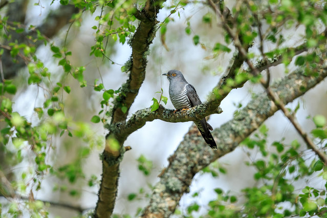 A cuckoo in Thursley, Surrey, Tngland on April 27, 2019. The common cuckoo is a member of the cuckoo order of birds, Cuculiformes, which also includes roadrunners, anis and coucals. (Photo by Bebedi/Alamy Stock Photo)