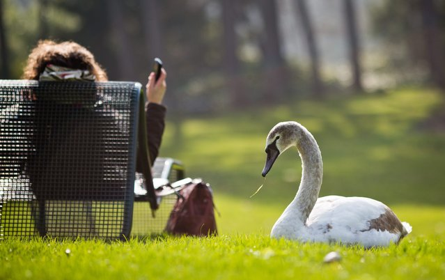 A young swan sits next to a woman on a lawn in the Spring temperatures in the Palmengarten in Frankfurt Main, Germany, 07 March 2014. (Photo by Frank Rumpenhorst/EPA)
