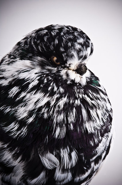 Long Faced Tumbler. Darwin's Pigeons series. (Photo by Photo by Richard Bailey/Caters News)