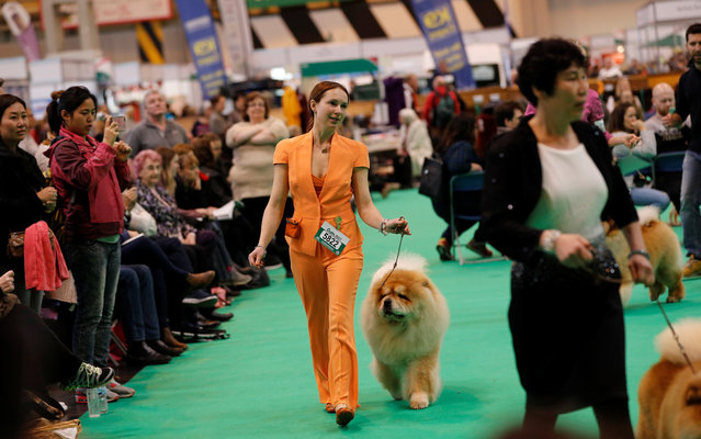 A Chow Chow is shown during the second day of the Crufts Dog Show in Birmingham, Britain March 10, 2017. (Photo by Darren Staples/Reuters)