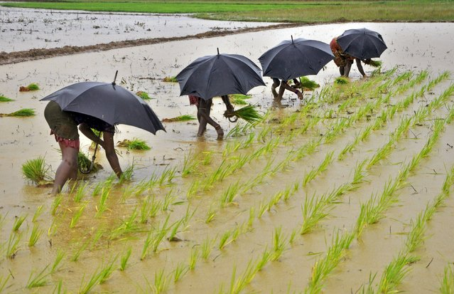 Labourers plant saplings in a paddy field on the outskirts of the eastern Indian city of Bhubaneswar in this July 19, 2014 file photo. (Photo by Reuters/Stringer)