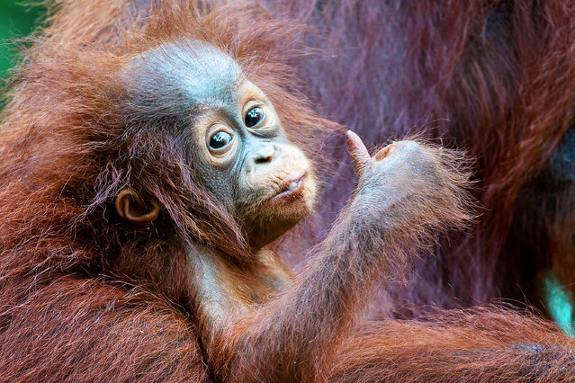 A baby orangutan giving the camera a thumbs up in Tanjung Puting National Park in Kalimantan, Borneo on July 2018. (Photo by Mogens Trolle/Caters News Agency)