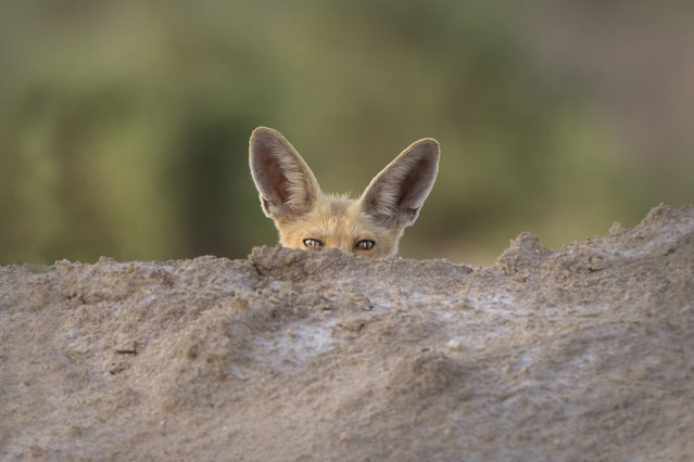 """Don't Be Shy"". Arabian Red Fox. Photo location:  Kuwait. (Photo and caption by Omar Alshaheen/National Geographic Photo Contest)"