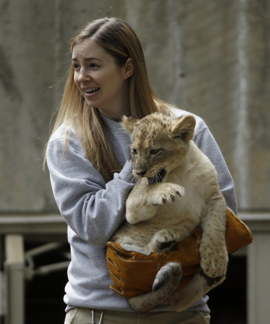 Smithsonian National Zoo biologist Leigh Pitsko carries out a male lion cub for its swim test in a moat in Washington May 6, 2014. Four, unnamed ten-week old lion cubs were tested today for their ability to swim and remove themselves from their zoo habitat moat. (Photo by Gary Cameron/Reuters)