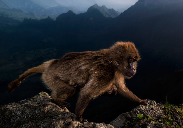 15-17 years category winner: Early Riser by Riccardo Marchegiani, Italy. Marchegiani could not believe his luck when, at first light, this female gelada, with a week-old baby clinging to her belly, climbed over the cliff edge close to where he was perched. He was with his father and a friend on the high plateau in Ethiopia's Simien mountains national park, there to watch geladas – a grass‑eating primate found only on the Ethiopian plateau. At night, the geladas would take refuge on the steep cliff faces, huddling together on sleeping ledges, emerging at dawn to graze on the alpine grassland. (Photo by Riccardo Marchegiani/2019 Wildlife Photographer of the Year)