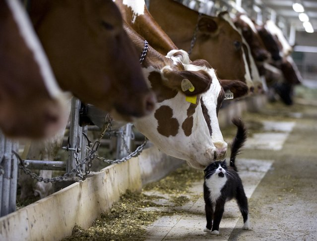 Dairy cows nuzzle a barn cat as they wait to be milked at a farm in Granby, Quebec July 26, 2015. Pacific Rim officials meet in Hawaii this week for talks which could make or break an ambitious trade deal that aims to boost growth and set common standards across a dozen economies ranging from the United States to Brunei. (Photo by Christinne Muschi/Reuters)