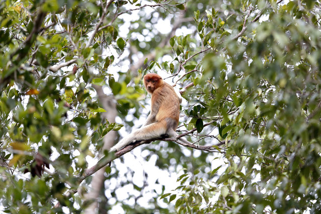 A female proboscis monkey high in the trees in Tanjung Puting National Park, in Kalimantan (Indonesian Borneo), Indonesia, September 4, 2013. (Photo by Barbara Walton/EPA)