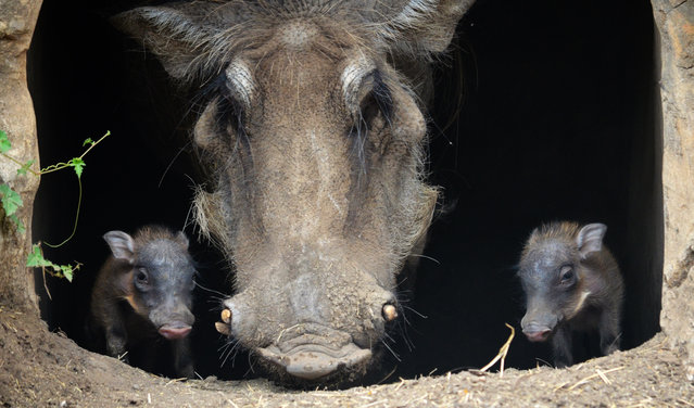"""This June 17, 2014 photo provided by the San Antonio Zoo shows a pair of warthog piglets born Saturday, June 14, 2014 with their mom, """"Sekini"""". Zoo officials on Thursday, June 26, 2014,  announced the birth of the male and female piglets. (Photo by AP Photo/San Antonio Zoo)"""