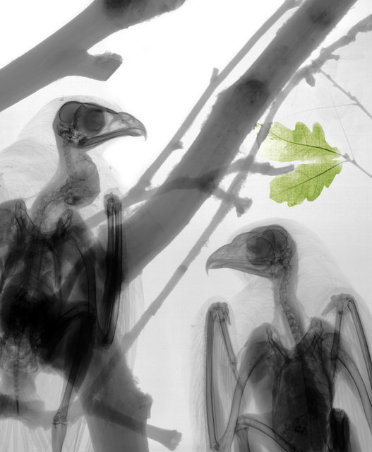Coloured X-ray of buzzards. A physicist has used X-ray to create an extraordinary collection of artwork. Arie van't Riets pictures reveal birds, fish, monkeys and flowers in an incredible new light. The 66-year-old, from Bathmen in the Netherlands, began X-raying flowers as a means to teach radiographers and physicians how the machine worked. But after adding a bit of colour to the pictures, the retired medical physicist realised the potential for an exciting new collection of art. (Photo by Arie van't Riet/Barcroft Media)