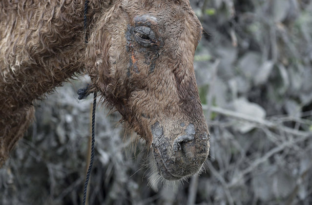 An injured horse that was rescued from the volcano island of Taal stays near the shore as it rests at Talisay, Batangas province, southern Philippines on Friday January 17, 2020. Taal volcano remains life-threatening despite weaker emissions and fewer tremors, an official said Friday and advised thousands of displaced villagers not to return to the danger zone. (Photo by Aaron Favila/AP Photo)