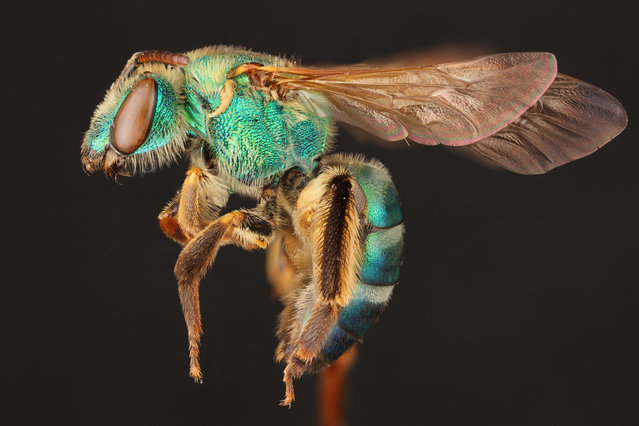 These macro images by Alejandro Santillana are being showcased in the Insects Unlocked project at the University of Texas at Austin. Here: A female sweat bee. (Photo by Alejandro Santillana/Insects Unlocked/Cover Images)
