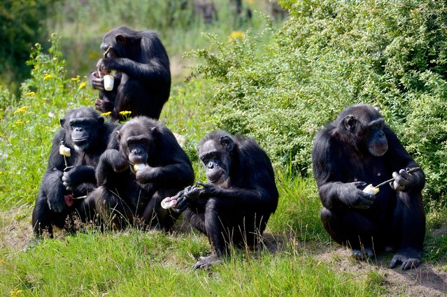 Five chimpanzees eat icecream made of yogurt and fruits during sunny weather at the Serengeti Park in Hodenhagen, northern Germany, Sunday, August 9, 2015. (Photo by Peter Steffen/DPA via AP Photo)