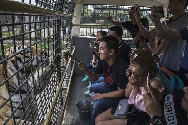 A Chinese tourist dangles a piece of raw meat in front of a Siberian tiger as they ride in a bus at the Heilongjiang Siberian Tiger Park on August 16, 2017 in Harbin, northern China. (Photo by Kevin Frayer/Getty Images)