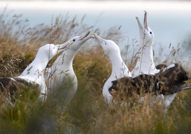 Northern royal albatrosses at the Royal Albatross Centre in Taiaroa Head, Dunedin, New Zealand. In a trial using technology shared by New Zealand and France 169 albatrosses were fitted with radar detection tags to spot illegal fishing in November 2018 and released to the south of the Indian Ocean. (Photo by Guo Lei/Xinhua News Agency/Alamy Stock Photo)