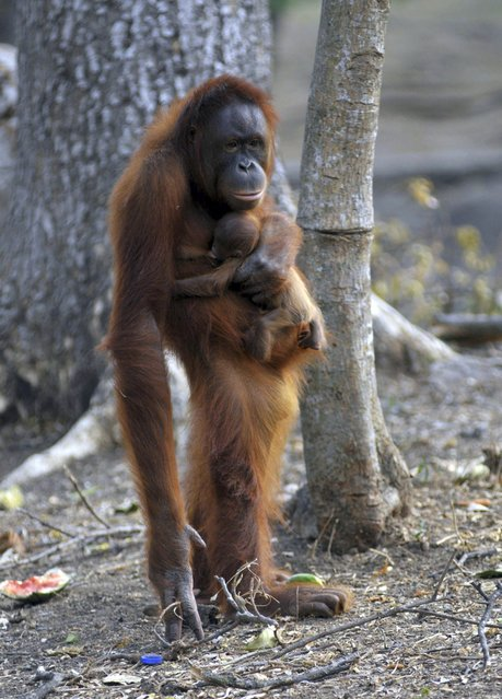In this photo taken on Thursday, September 27, 2012, Tori, a female orangutan carries her baby at Satwa Taru Jurug Zoo in Solo, Central Java, Indonesia. Tori, known as one of the female orangutans which like to smoke cigaret that was given by Zoo visitors, gave birth to the baby on September 26, 2012. (Photo by AP Photo/Stringer)