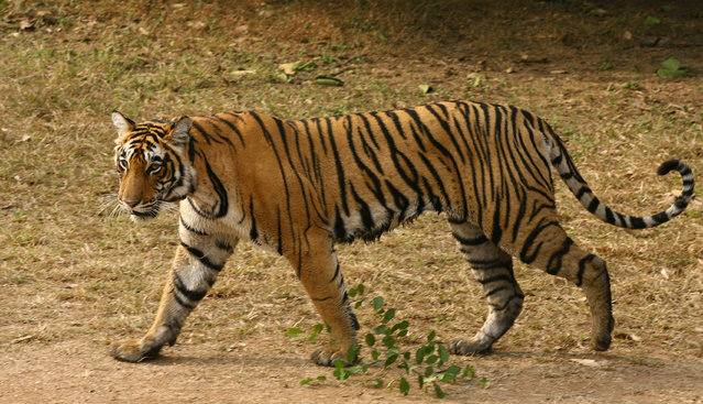 """A two-and-a half years old female tigress named """"T-17"""" is seen at the Ranthambhore National Park in Sawai Madhopur district in Rajasthan January 15, 2009. (Photo by Vijay Mathur/Reuters)"""