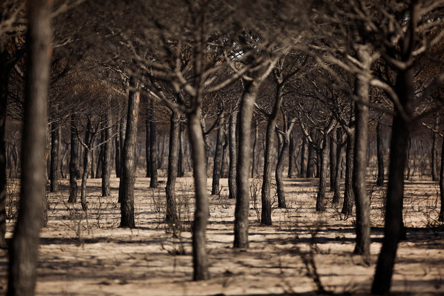 Burnt trees are seen after a forest fire in Donana National Park, near Matalascanas, southern Spain June 26, 2017. (Photo by Jon Nazca/Reuters)
