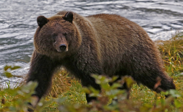 A coastal brown bear walks along the banks of the Chilkoot River near Haines, Alaska, October 7, 2014. (Photo by Bob Strong/Reuters)